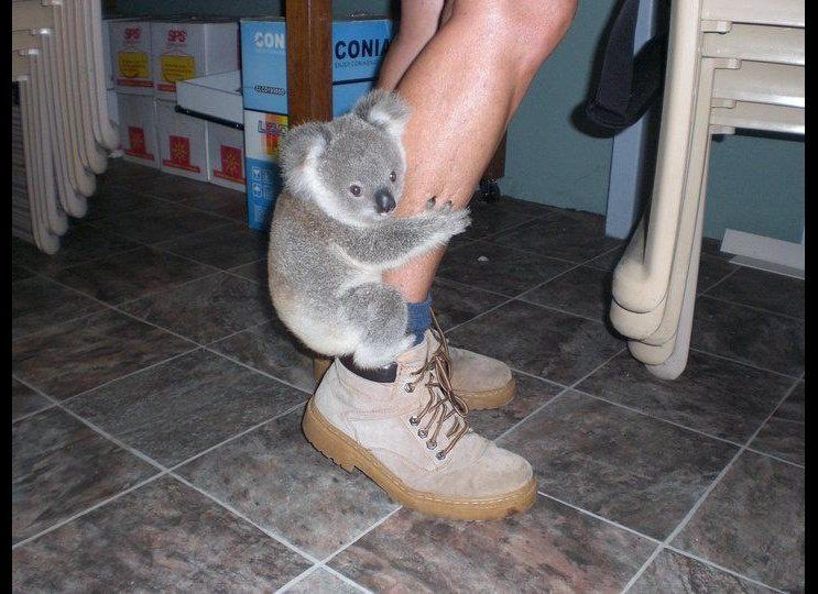 Photos of Crescent Head Jimmy the orphaned baby Koala who was nursed back to health at the Koala Hospital in Port Macquarie,