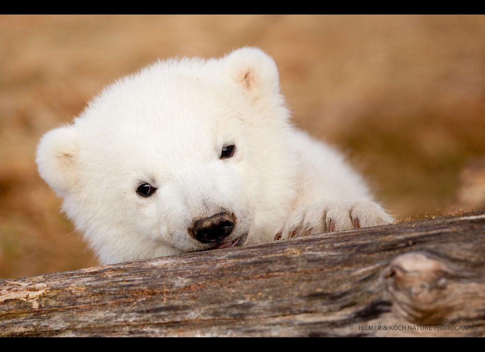 "Born at the <a href=""http://www.skandinaviskdyrepark.dk/index.dsp?area=399"" target=""_hplink"">Scandinavian Wildlife Park</a> ("