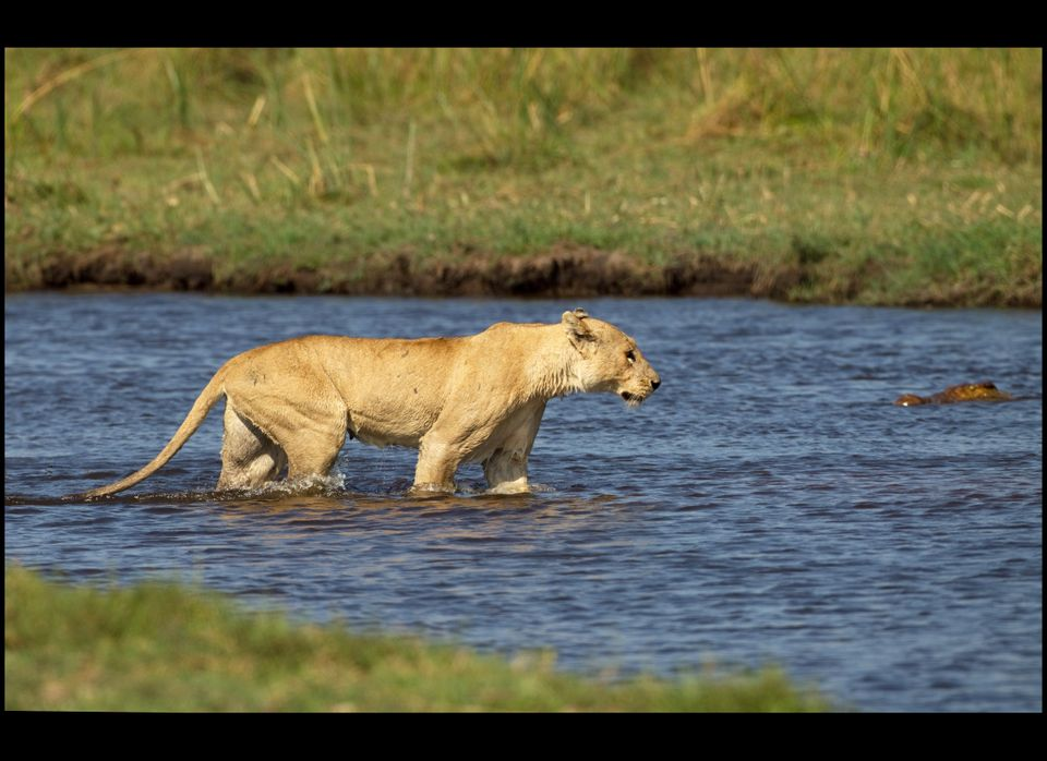 A brave lioness' terryfying encounter with a giant crocodile in the Okavango Delta of Botswana has been recorded by wildlife
