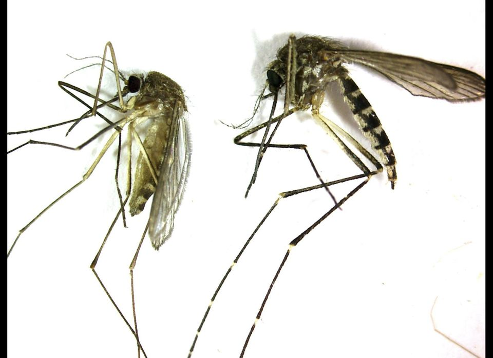 This undated photo provided by the Northwest Mosquito Abatement District shows a Culex pipiens, left, the primary mosquito th
