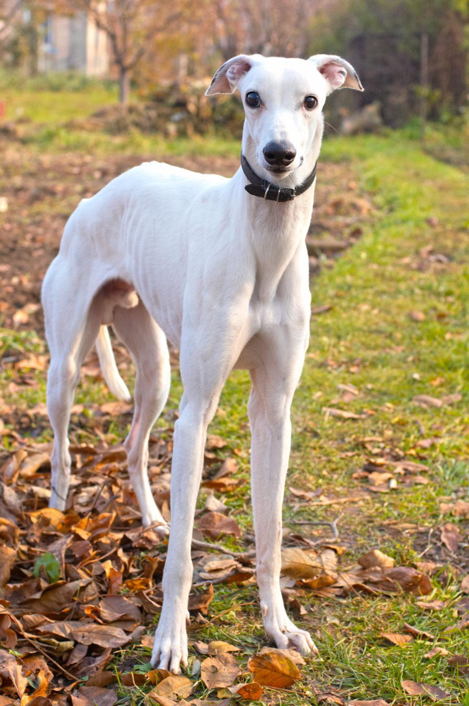 "When you think of fast dogs, the tall and lean <a href=""http://www.vetstreet.com/dogs/greyhound"">Greyhound</a> is the first b"