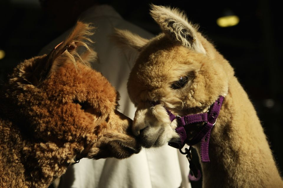 Alpacas were domesticated by the Incas more than 6,000 years ago and raised for their exquisite fleece. Due to its quality an