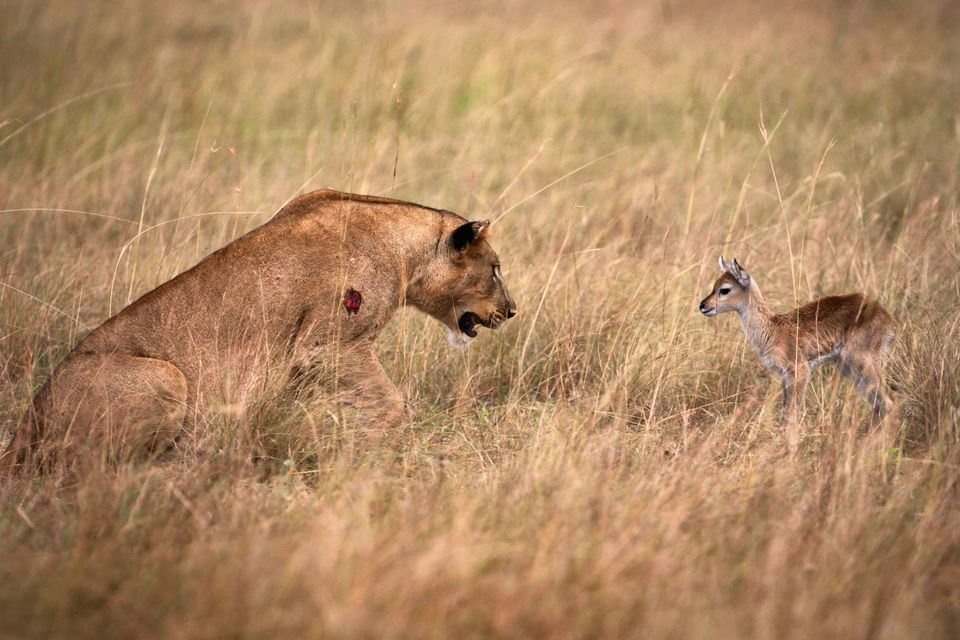 Lioness Befriends Baby Antelope After Killing Its Mother In