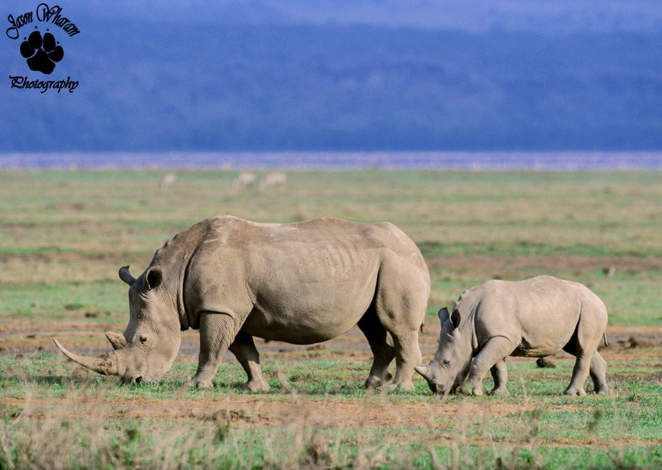 "There are two types of <a href=""http://www.awf.org/content/wildlife/detail/rhinoceros"">African rhinoceros</a> — white and bla"