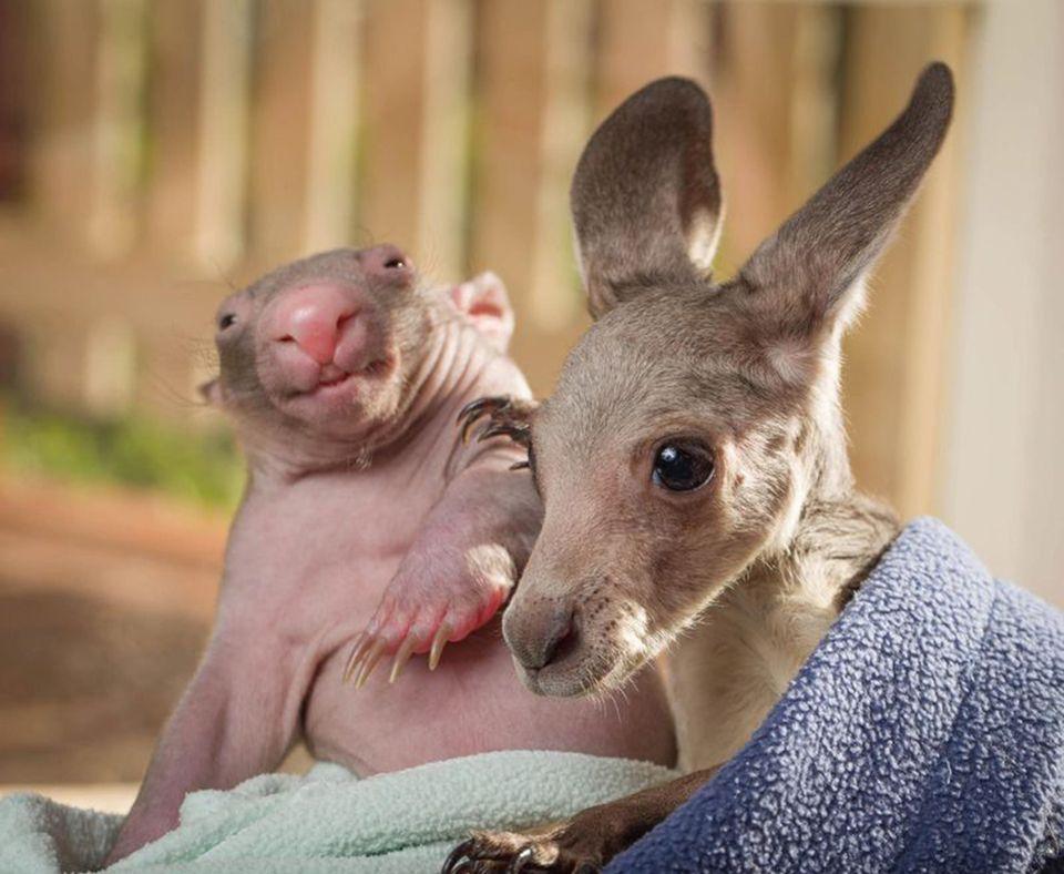 "<a href=""http://wildaboutwildlife.net.au/"" target=""_hplink"">Baby Marsupial Trio</a>"