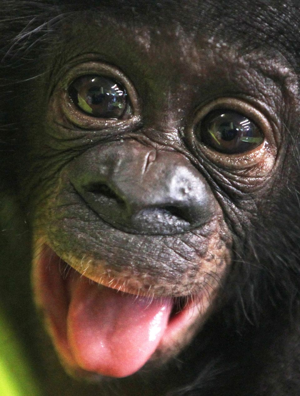 Bonobo baby Sambo looks into the camera in the zoo of Frankfurt, Germany, Tuesday, April 24, 2012. The male chimpanzee baby w