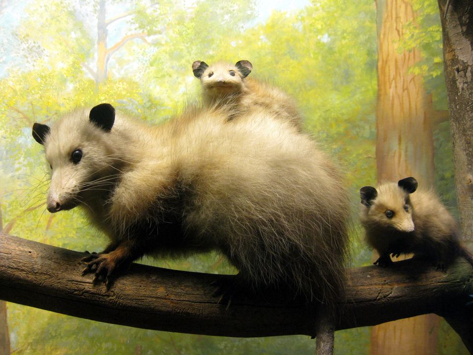 Opossums are mostly immune to rabies, and in fact, they are eight times less likely to carry rabies compared to wild <a href=