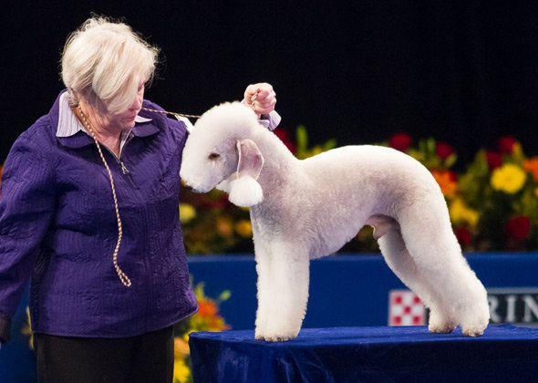 """Beneath his gentle, lamblike appearance, the <a href=""""http://www.vetstreet.com/dogs/bedlington-terrier"""">Bedlington Terrier</a"""