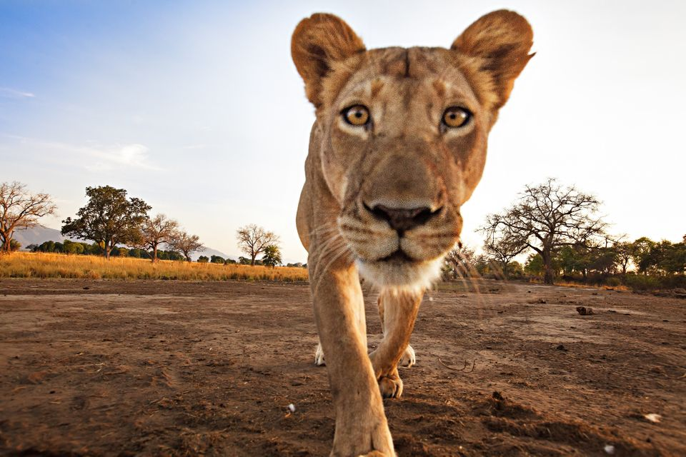These images captured by photographer Ed Hetherington show a lioness making a nice meal out of his remote camera he set up wh