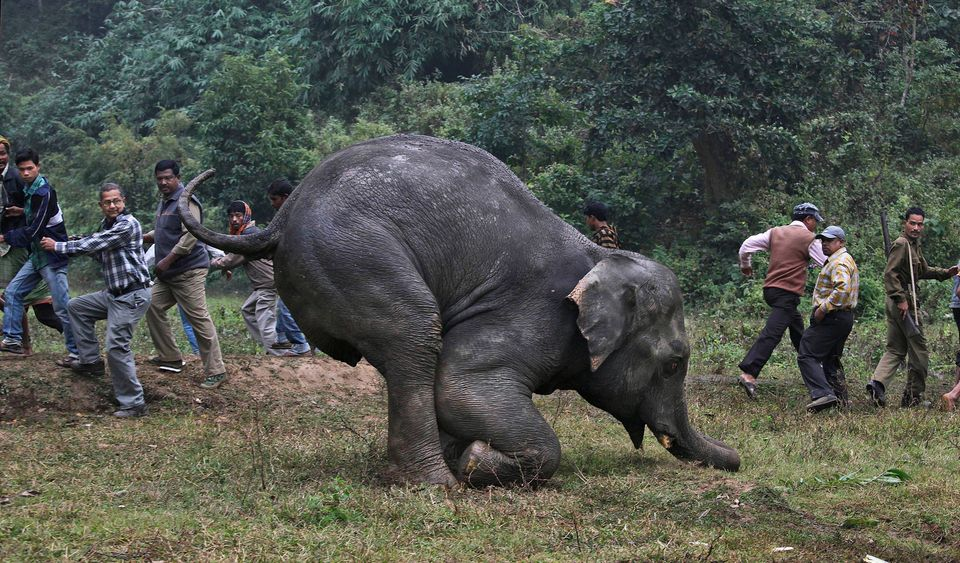 An injured wild elephant tries to stand after it was attacked by poachers a number of days ago at the foothills of Pancharatn