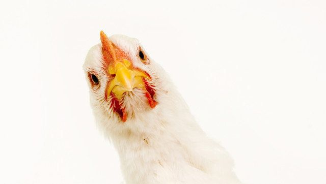 The Cruelest of All Factory Farm Products: Eggs From Caged Hens