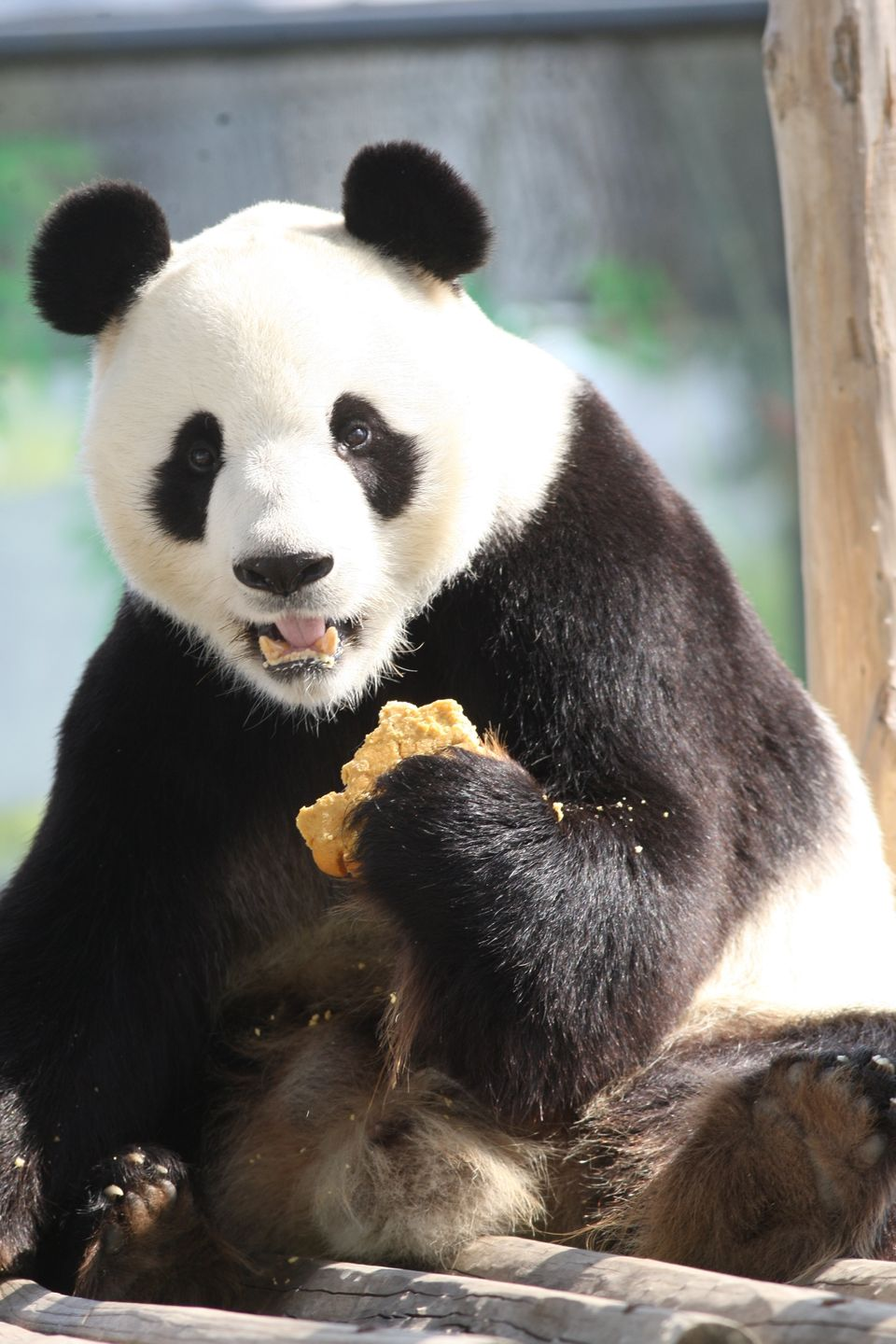 YANTAI, CHINA - SEPTEMBER 19: A giant panda eats 'Mooncake' at a zoo on Mid-Autumn Day on September 19, 2013 in Yantai, Shand