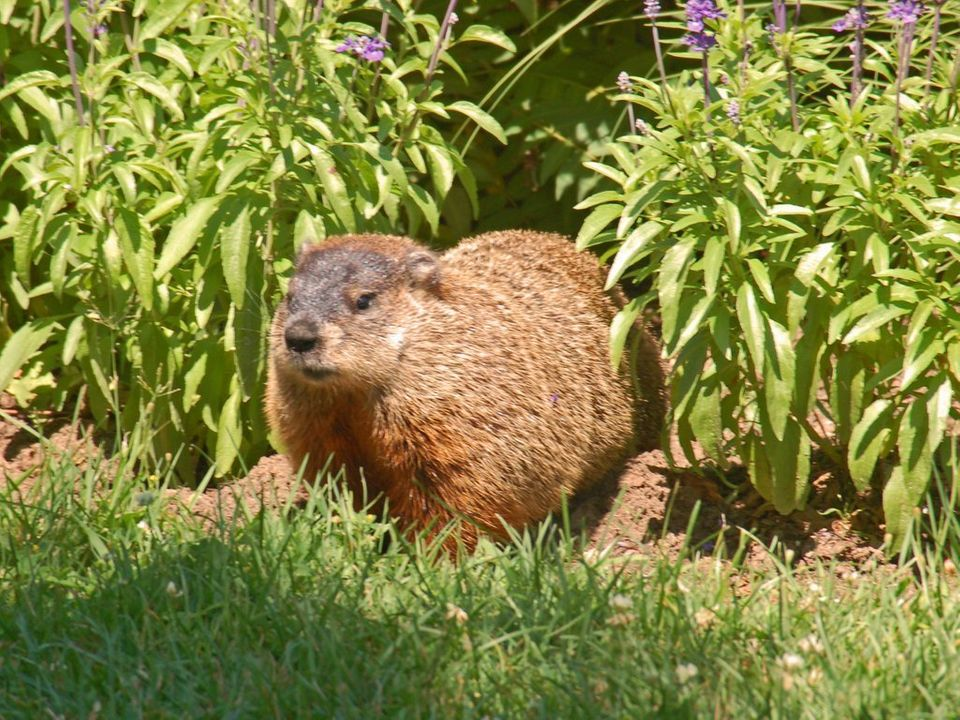 "<a href=""http://www.news.cornell.edu/chronicle/96/2.1.96/facts.html"">Groundhogs and woodchucks</a> are actually the same thin"