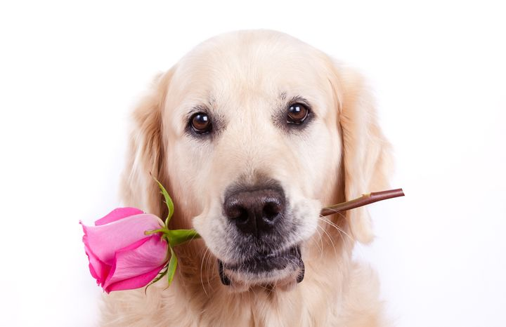 golden retriever dog with rose