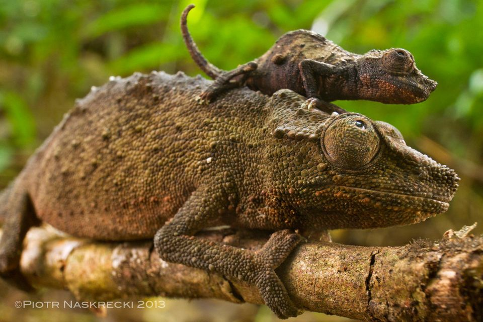 """<a href=""""http://newswatch.nationalgeographic.com/2013/02/07/adorable-pygmy-chameleon-captured-in-stunning-photos/"""">Image cour"""