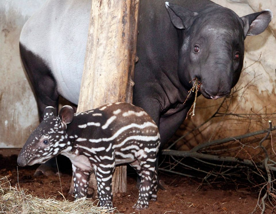 """Officials at the Nashville Zoo <a href=""""http://www.zooborns.com/zooborns/2013/01/nashville-zoo-keepers-administer-emergency-m"""