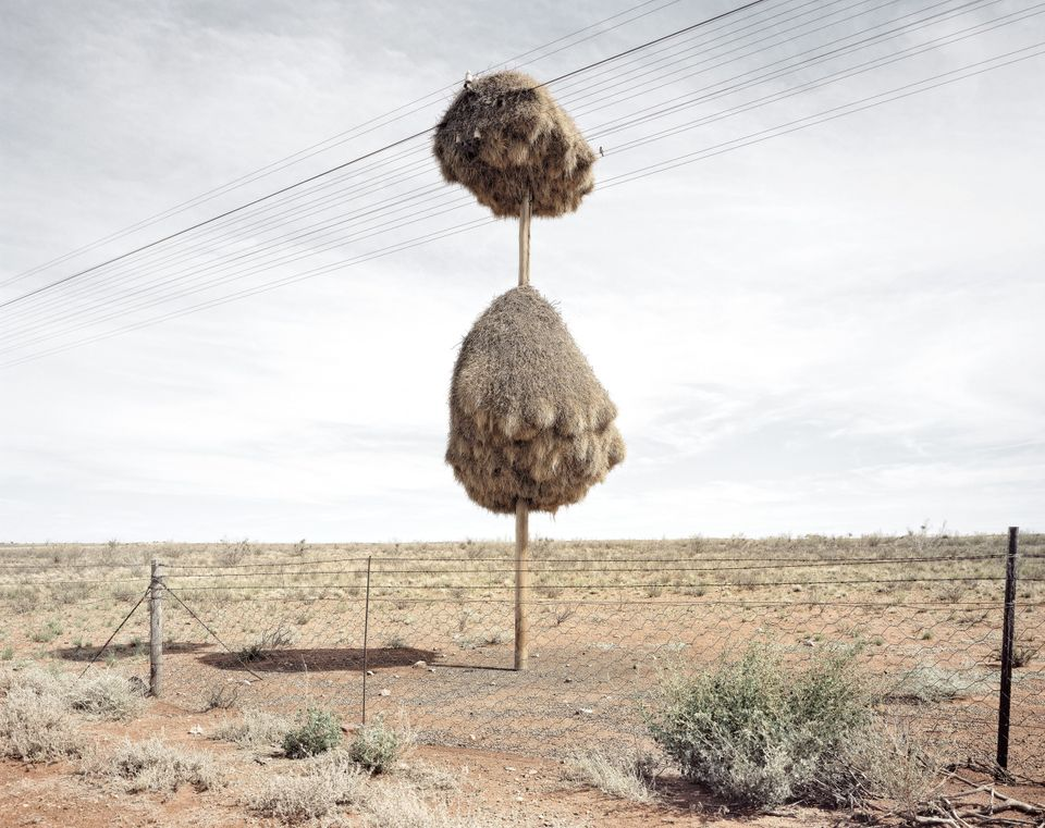 Photo of telephone pole covered in nest made of twigs and grass by sociable weaver birds was taken near Upington, South Afric