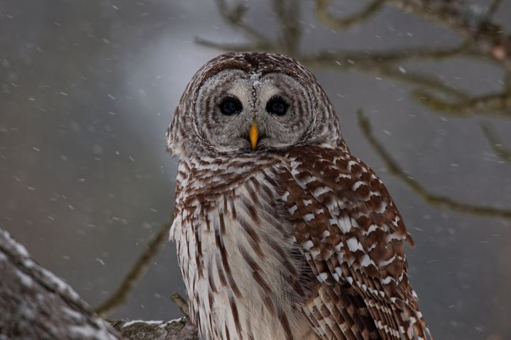 Barred Owl (Strix varia) perched in tree, Ontario, Canada