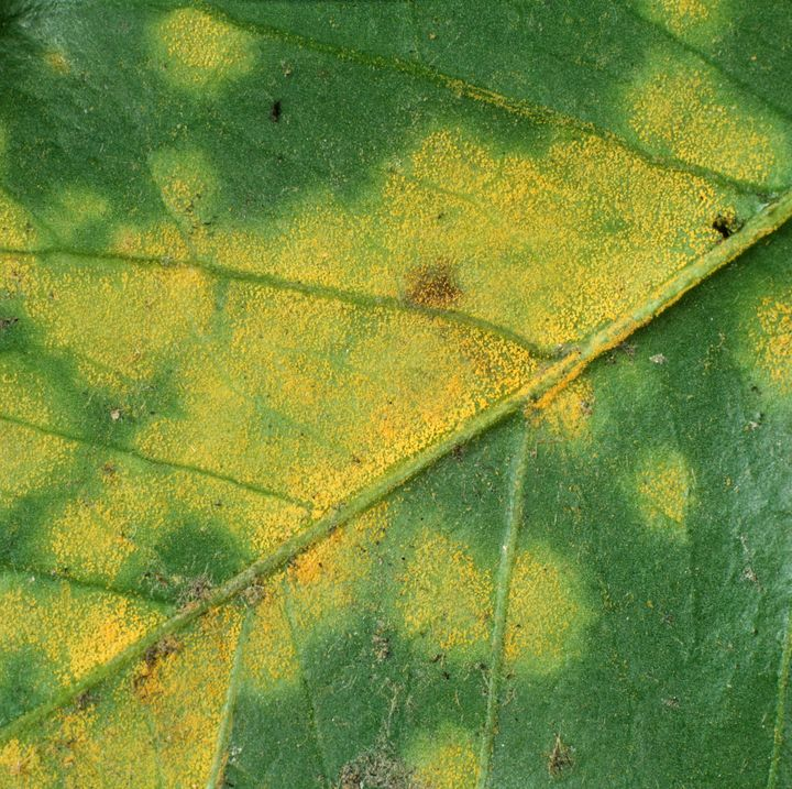 Coffee Rust (Hemileia vastatrix) sporulating pustules on the underside of a Coffee leaf (Coffea arabica), Colombia.