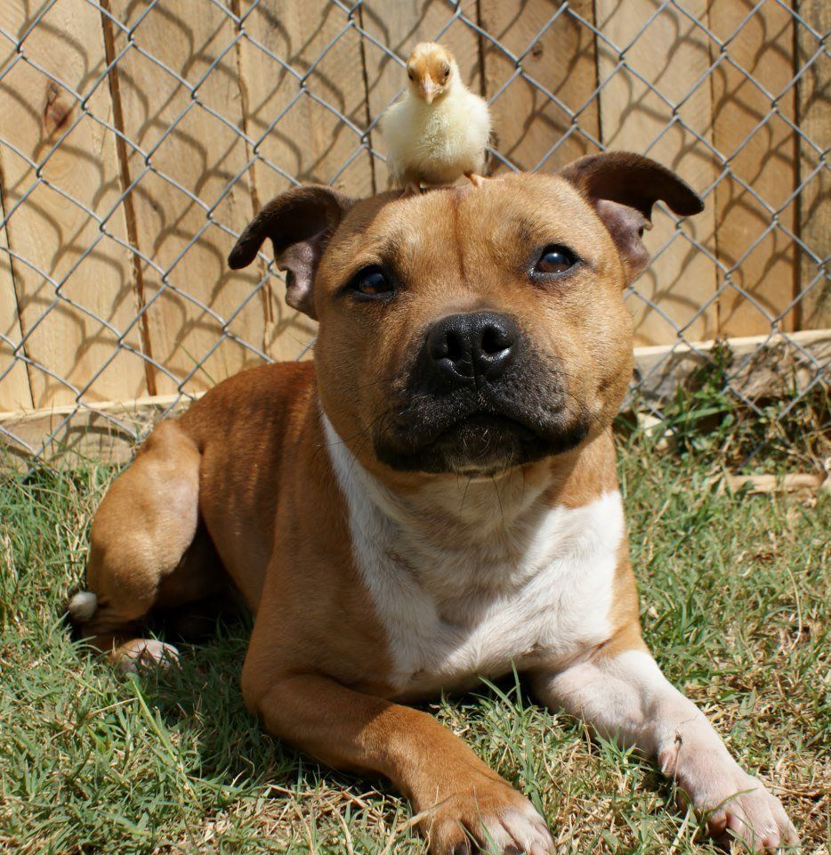 "Boom, a Staffordshire Bull Terrier, chilling with his friend Itty.  (See more photos on <a href=""http://www.facebook.com/medi"