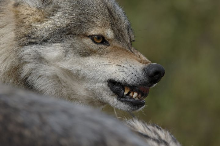 gray wolf  patient and constant ...