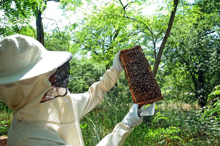 A beekeeper looks at one of his hive in Colomiers, southwestern France, on June 1, 2012. The Cruiser insecticide used in the