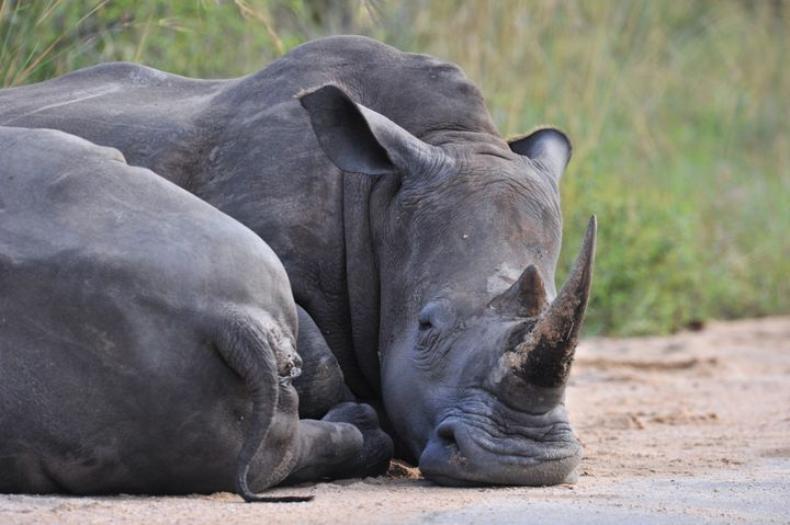 Photo taken on February 6, 2013 shows rhinoceros resting in the Kruger National Park near Nelspruit, South Africa. AFP PHOTO