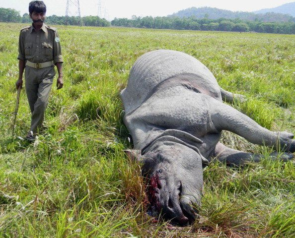 An Indian forest official walks past a dead rhino that was killed by poachers in Nagon on March 23, 2013.  A rhino fell victi