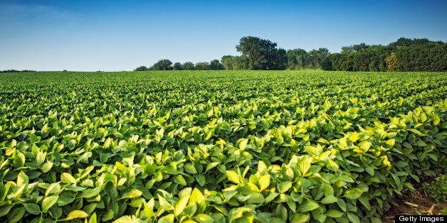Rows of soy bean plants in a field