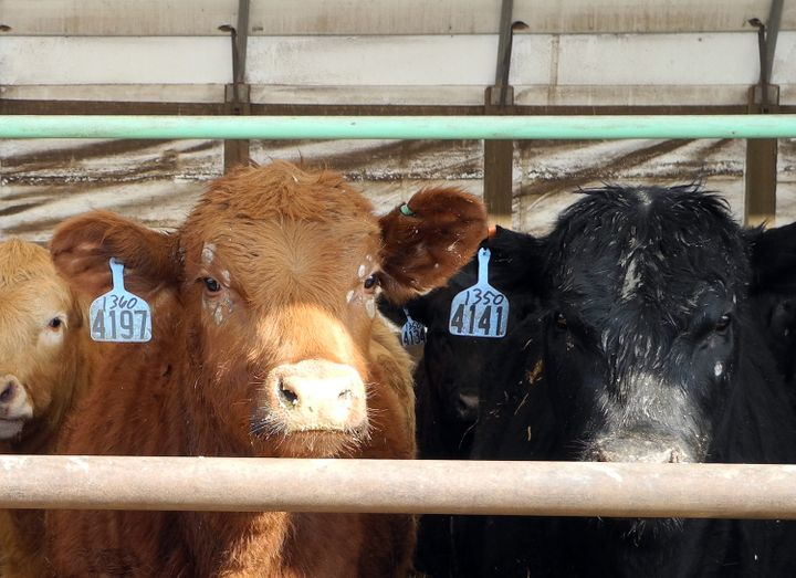 Cows are seen at a farm March 8, 2013 in Dallas Center, Iowa, the 6th largest US state producer of cattle. American farmers p