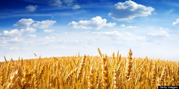 Field of wheat under the blue sky, with bright sun on horizon