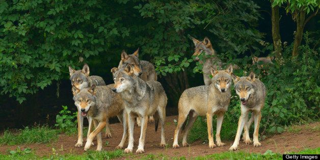 Pack of Timber Wolves, Germany