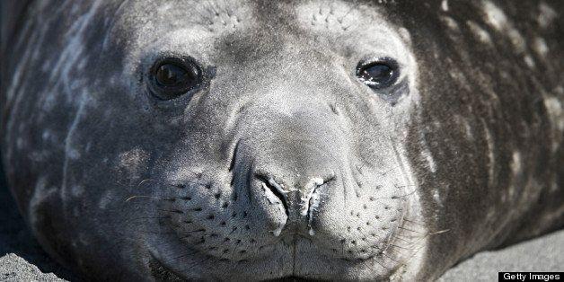 Southern Elephant Seal (Mirounga leonina) male. Gold Harbor, South Georgia