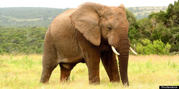 large african elephant in a...