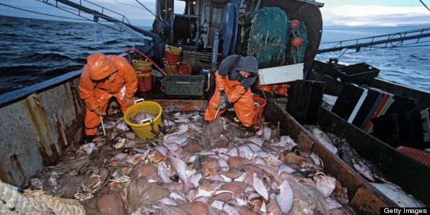 Fishermen (35 and 58 years old) sorting Cod (Gadus morhua) on dragger deck; New England, Stellwagen Bank, Atlantic Ocean, USA