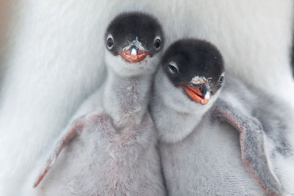 Two newly hatched Gentoo Penguin chicks get their first glimpse at the Antarctic wilderness.