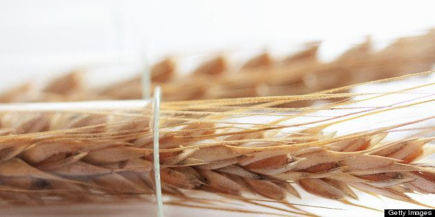 Close up of wheat stalks in test tube