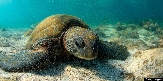 Sea turtle resting in low tide lagoon, Galapagos Islands.