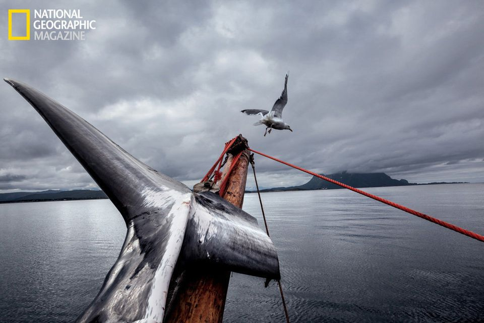 In the pale light of the midnight sun, a minke whale is butchered on the deck of the Jan Bjørn, one of the few whaling boats