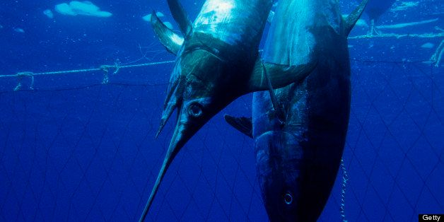 Bluefin Tuna and Swordfish Fishing, Thunnus thynnus, Xiphias gladius, Sardinia, Italy