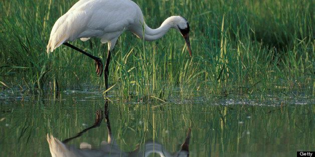 Whooping crane hunting along edge of a pond, Grus americana, International Crane Foundation, Baraboo, Wisconsin, USA, Photographed under controlled conditions (Photo by Wild Horizons/UIG via Getty Images)
