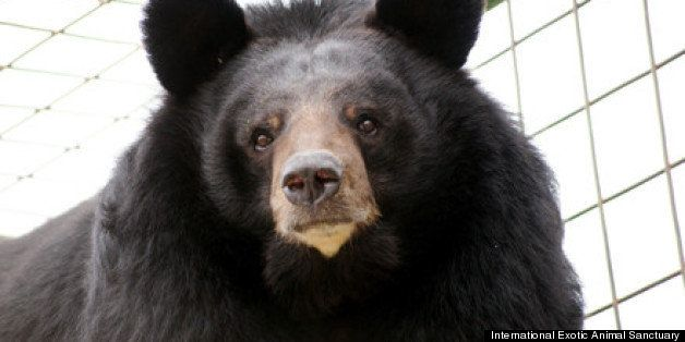 Bears Rescued From North Carolina Park Finding Contentment At Texas