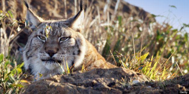 Iberian lynx in sunlight.