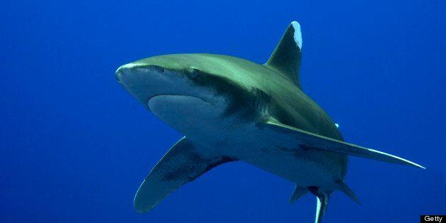 oceanic whitetip shark (Carcharhinus longimanus)