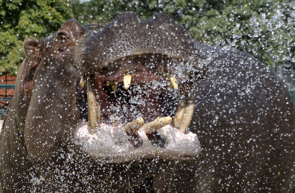 A Skopje City zoo employee, unseen, sprays Buco the hippopotamus with a hose to cool him down, as the temperature exceeds 40