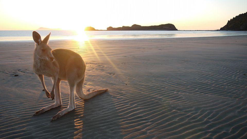 Kangaroo at Cape Hillsborough National Park in Queensland, Australia.