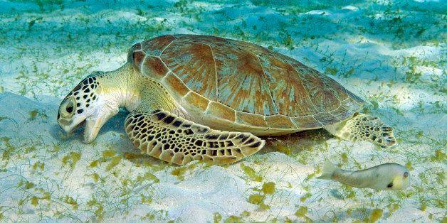 Netherland Antilles, Curacao, Green sea turtle, Chelonia mydas feeding on sea grass,