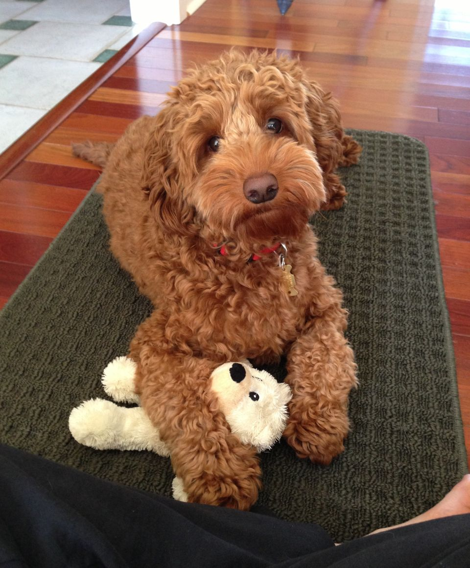"""""""Here's my labradoodle, Thurman!"""""""