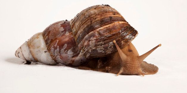 Giant African Land Snail (family Achatinidae)