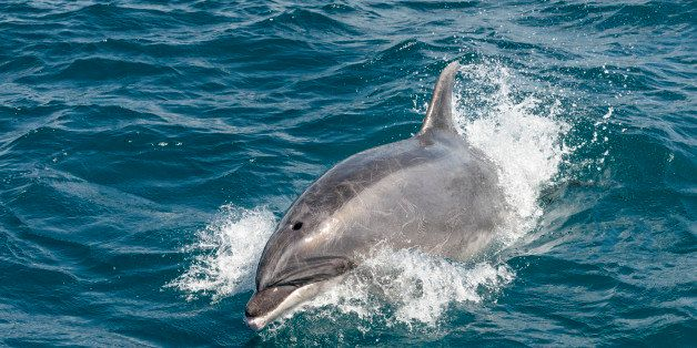 A bottlenose dolphin breaking the surface of the sea at close quarters, in New Zealand's Bay of Islands.